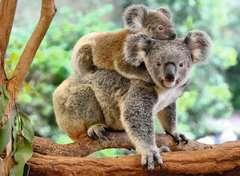 Koalafamilie - Bild 2 - Klicken zum Vergößern
