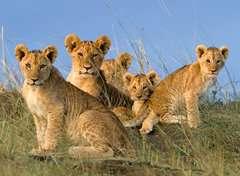 Löwen Babys - Bild 2 - Klicken zum Vergößern
