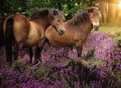 Pony's tussen de hei - image 2 - Click to Zoom