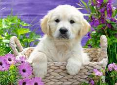 Sweet Golden Retriever, 500pc - Billede 2 - Klik for at zoome