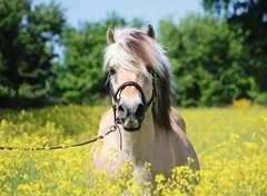 Pferd im Rapsfeld - Bild 2 - Klicken zum Vergößern
