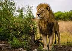 Stolzer Löwe - Bild 2 - Klicken zum Vergößern