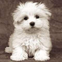 Cachorro maltés - imagen 2 - Haga click para ampliar