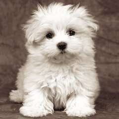 Cachorro maltés - imagen 3 - Haga click para ampliar