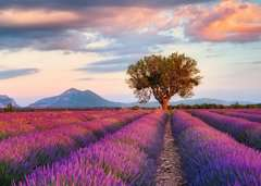 Lavendelfeld in der goldenen Stunde - Bild 2 - Klicken zum Vergößern