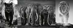 Panter, Elefanten, Löwe - Bild 2 - Klicken zum Vergößern