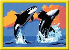 Verspielte Orcas - Bild 2 - Klicken zum Vergößern