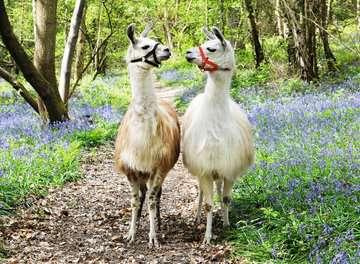 Llama Love                100p Puslespil;Puslespil for børn - Billede 2 - Ravensburger