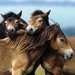 Loving Horses 3x49p Puslespil;Puslespil for børn - Billede 4 - Ravensburger